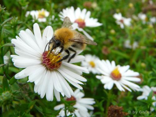 Trzmiel #owady #robaki #robaczki #przyroda #natura #flora #fauna
