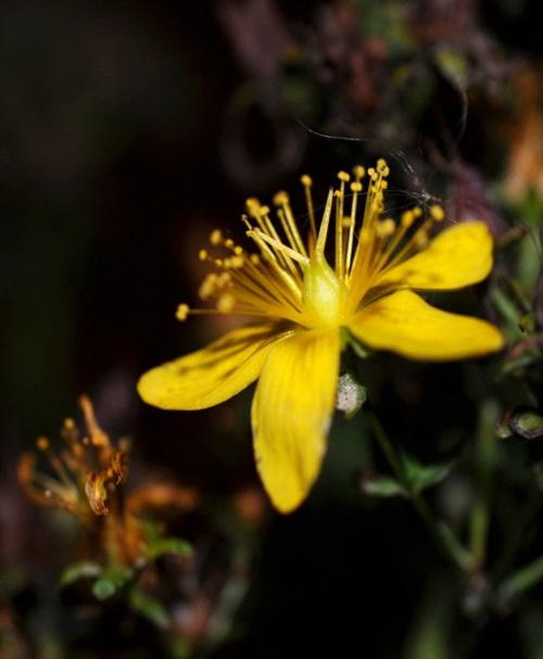 ostatnie kwiaty na lakach i przy drogach... #kwiaty #przyroda #macro