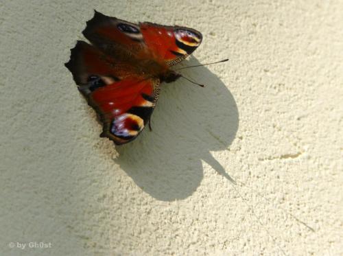 Rusałka pawik #owady #przyroda #natura #flora #fauna #rusałka #pawik #motyle