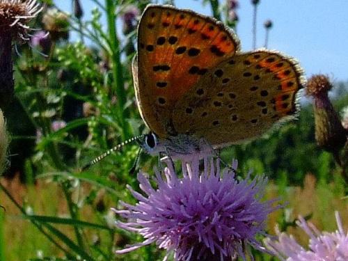 na plaży - Czerwończyk nieparek (Lycaena dispar) #motyle