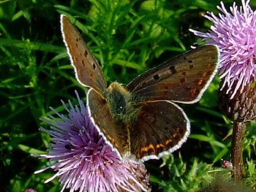 - na plaży - Czerwończyk nieparek (Lycaena dispar) #motyle