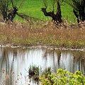 wierzby w Kołbaskowie #drzewa #wierzby