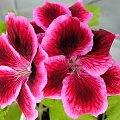 dla terii na urodziny z życzeniami 100 lat ... **** ulub. inka47 **** #kwiaty #pelargonie