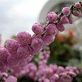 ... jesiennie ... #ogród #rośliny #wrzosy #ZłotaJesień #kwiaty