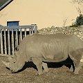 w opolskim zoo #nosorożec #zwierzęta #zoo