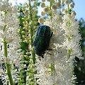 troszkę letnich wspomnień ... #owady #chrząszcze #makro #ogród #kwiaty