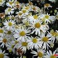 ... letnie wspomnienia ... #kwiaty #astry #marcinki #ogród #jesień