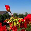 ...sierpniowe c.d. #kwiaty #pelargonie #balkon