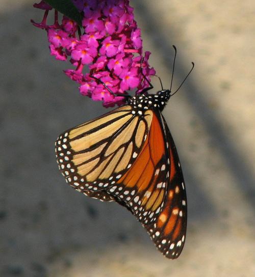 Motyl WEDRUJACY MONARCHA - Monarch (Danaus plexippus) na roslinie Budleja Dawida (Pink Delight) #motyle