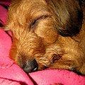 Bari - smaczny sen #pies #psy #jamnik #pupile #sen