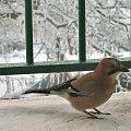 częsty gość na moim balkonie :) #ptaki #sójka