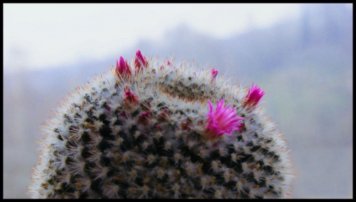 #kaktus #kwiat #natura