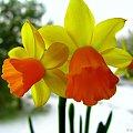 Wiosna na parapecie #kwiaty #parapet #wiosna #narcyzy #żonkile