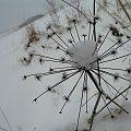 ... zimaaa ... c.d. #zima #makro #SucheTrawy #śnieg