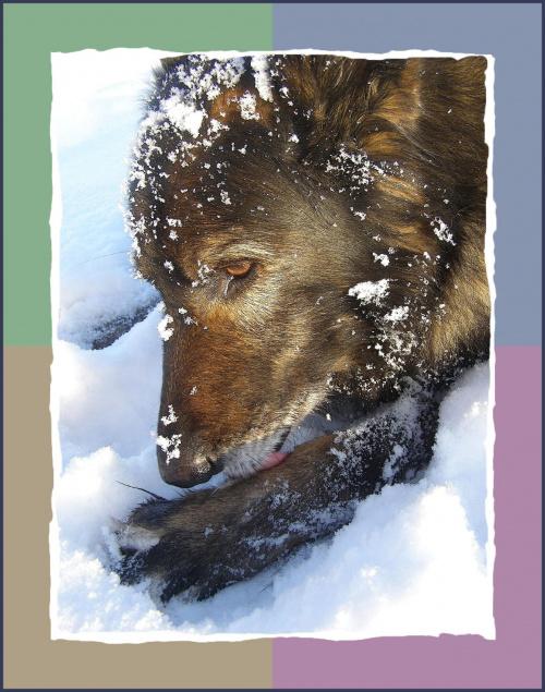 Nie da się chodzić, znowu muszę wyskubać śnieg :(( #psy #śnieg #wieś #zima #zwierzęta