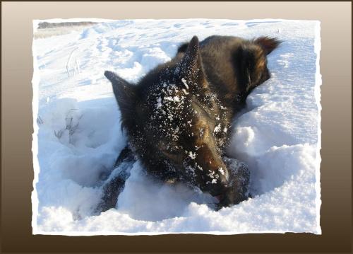 ... włazi śnieg w łapy... Ale i tak wole zimę od letnich upałów... #psy #śnieg #wieś #zima #zwierzęta
