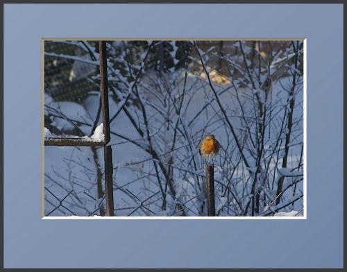 Po prostu rudzik... Czeka na swoja kolejkę w karmniku... Może coś zostanie po sójkach... #drzewa #flora #łąki #pola #ptaki #śnieg #wieś #zima #zwierzęta