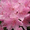 dla Bogusi - bogdap1 - na urodziny #prezent #urodziny #rododendron #kwiaty