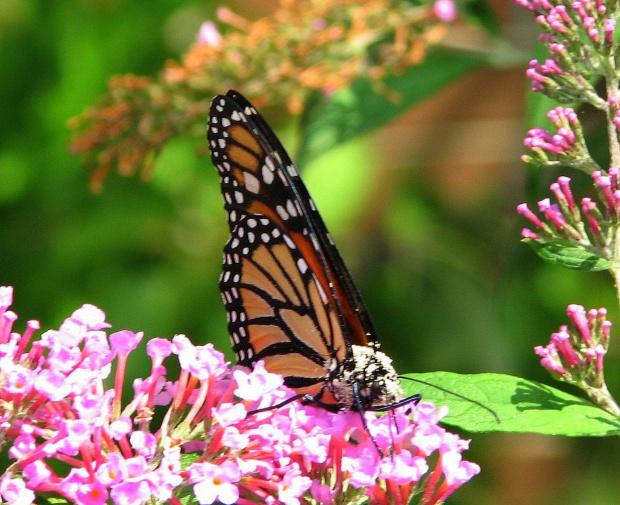 Motyl WEDRUJACY MONARCHA - Monarch (Danaus plexippus) #motyle
