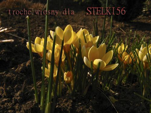 prezent od NIEZNAJOMEJ32 - dziękuję ... **** ulub. nieznajoma32 **** #kwiaty #krokusy #prezent #urodziny #wiosna
