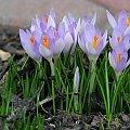 Wiosenne kwiaty cd. #krokusy #bratek #wrzosiec