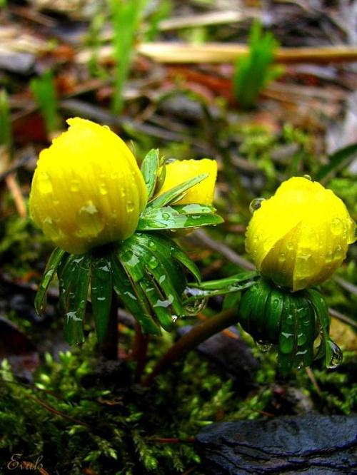 Deszczowa wiosna #deszcz #wiosna #ogród #krople #makro