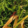 szablak krwisty (Sympetrum sanguineum) - samiec http://tiny.pl/5lfc