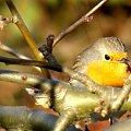 a co tam chowa sie na krzaczku ? :)))) #ptaki #rudzik
