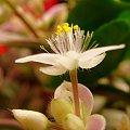 Trzykrotka #parapet #kwiaty #kwiatuszki #makro #trzykrotka