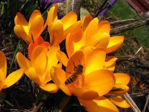 Zawitała do mnie wiosna :))) #wiosna #kwiaty #krokusy
