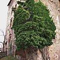 ruiny zamku Świny- tu można o nim dowiedzieć się więcej: http://zamki.net.pl/zamki/swiny/swiny.php #Świny #zamek #ruiny