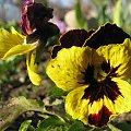 z mojego ogródka ... 02 kwietnia 2009 #kwiaty #bratki #makro #wiosna #ogród