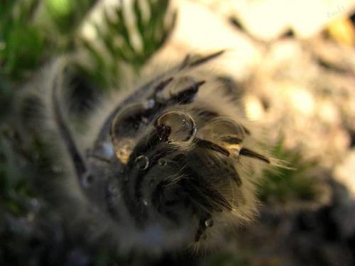 Z rosą mi do twarzy :) #ogród #wiosna #rosa #krople #pąki