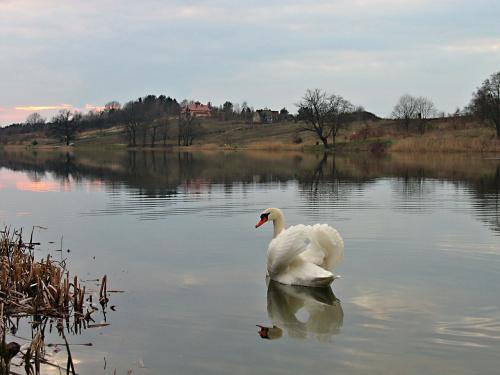 mam słabość do zalewu, zachodów nad nim i pływających po nim łabędzi- więc wybaczcie :) #łabędzie #ptaki #zalew #ZbiornikWodny