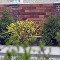 #wiosna #kwiaty #forsycja #mur #ogrodzenie