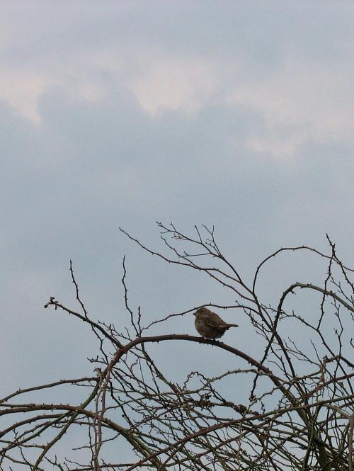 #ptaki #wróbel