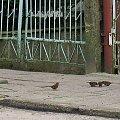 #ptaki #wróble #chodnik