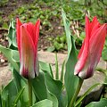 Rożności z dzisiejszej wycieczki po najbliższej okolicy #azalie #narcyze #zonkile #hiacynty #tulipany #mlecze #PolneKwiatki #forsycja #inne