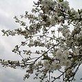 czereśnie wiśnie, brzoskwinie ... też z ogródka ... #drzewa #kwiaty #ogród #wiosna #wiśnia