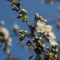 czereśnie wiśnie, brzoskwinie ... też z ogródka ... #kwiaty #drzewa #czereśnia #ogród #wiosna