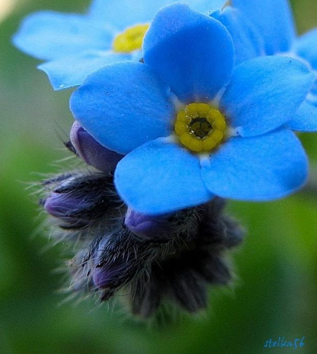 wiosny nigdy dość ... :) #kwiaty #niezapominajki #wiosna #ogród #makro