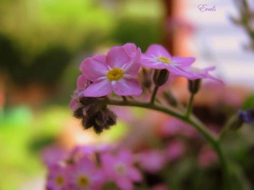 Różowe niezapominajki #Wiosna #niezapominajki #kwiatki