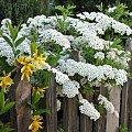 #płot #kwiaty #krzew