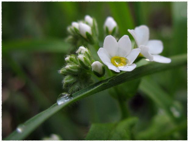 #kwiaty #niezapominajki #wiosna