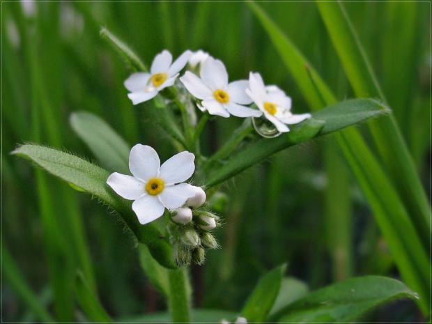 białe :) #kwiaty #niezapominajki #wiosna
