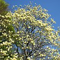 Majestatyczne magnolie #magnolie