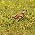 szpaki #szpak #ptak #bird #xnifar #rafinski