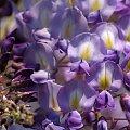 wiosna we fioletach ... :)) #kwiaty #glicynia #wisteria #ogród #pnącze #wiosna #makro
