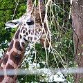 żyrafa #afryka #natura #park #przyroda #safari #żyrafa #zwierzęta