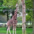 żyrafa #afryka #natura #park #przyroda #safari #zwierzęta #żyrafa